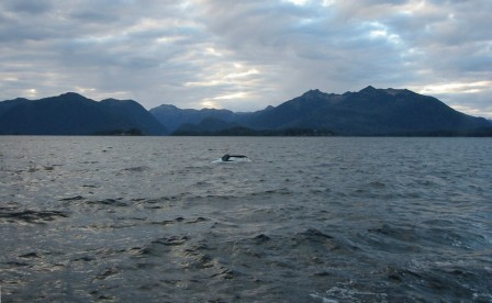 humpback whale in Sitka Sound