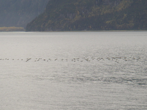loon flock south of Haines