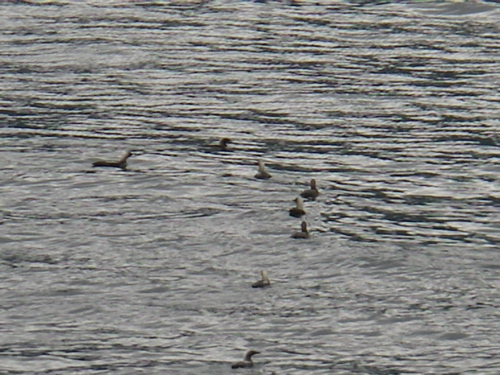 loons gathering for migration
