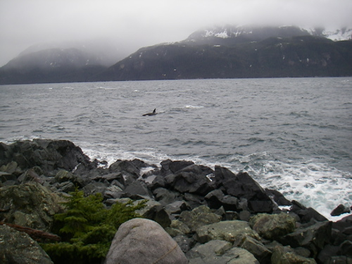 orcas off the homestead rocks