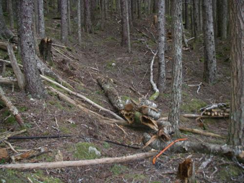 processing a birch tree
