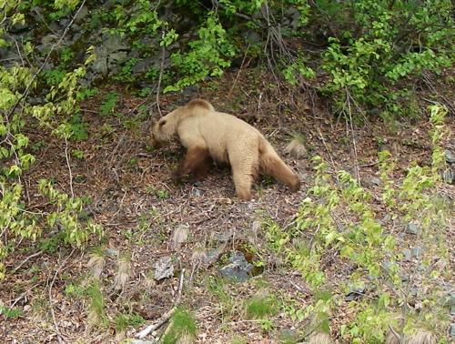 Letnikof brown bear