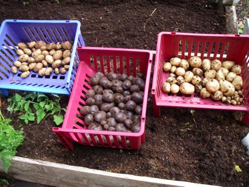 potato harvest, 2012