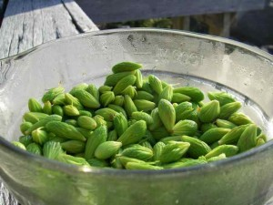Spruce tips, fresh from our homestead trees (Photo: Mark Zeiger).
