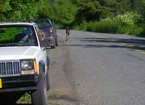 The moose calf zips by the car as Michelle watches (Photo: Mark Zeiger).
