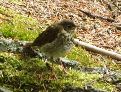 One of the many fledgling hermits on the property (Photo: Mark A. Zeiger).