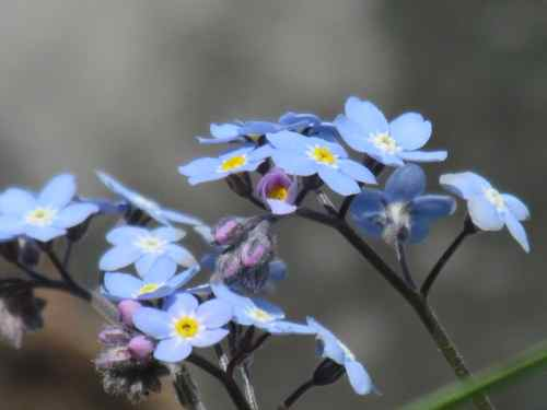 Forget-me-nots, Alaska's State Flower (Photo: Mark A. Zeiger).