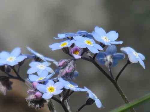 Forget-me-nots, Alaska's State Flower (Photo: Mark A. Zeiger).