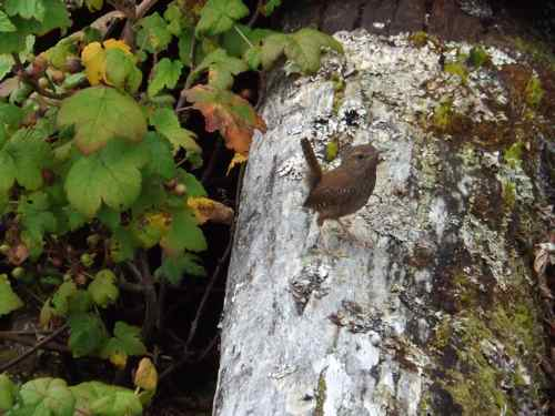 """The wren, the wren, the king of all birds!"" (Photo: Sarah A. Zeiger)."