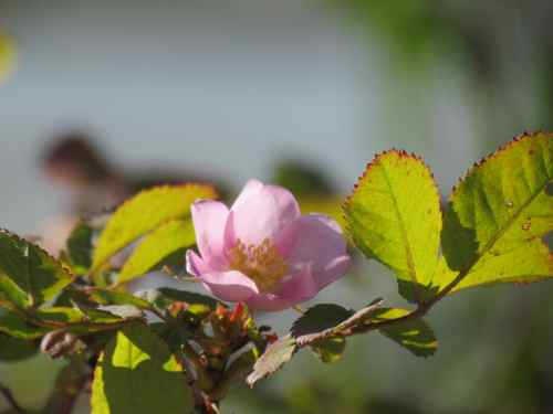 The last rose of summer? Wild rose blooming far above the Klehini River (Photo: Mark A. Zeiger).