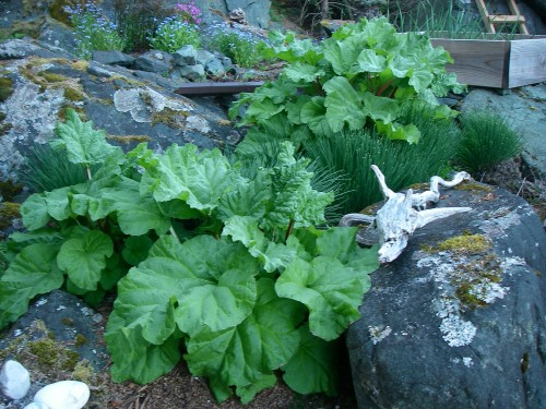Rhubarb Patch May 2015 (photo: Michelle Zeiger)