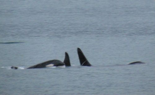 To liven up the post, here's a totally unrelated photo of some killer whales that passed by our homestead earlier this week (Photo: Mark A. Zeiger).