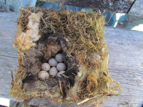 Eggs, probably chickadee, left in the birdhouse (Photo: Michelle L. Zeiger).