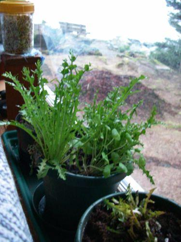 A winter window garden (l-r): sprouts, kale, dandelion (Photo: Michelle L. Zeiger).