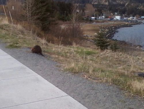 Michelle's cell phone photo of the beaver (Photo: Michelle L. Zeiger).