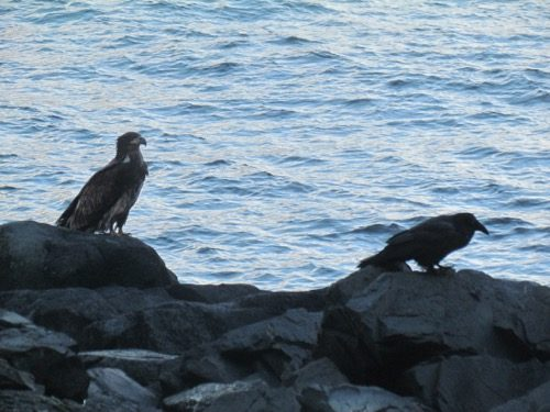 A young bald eagle and a raven check for more fish scraps on the rocks. (Photo: Mark A. Zeiger.)