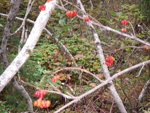 Highbush cranberries (Photo: Michelle L. Zeiger).