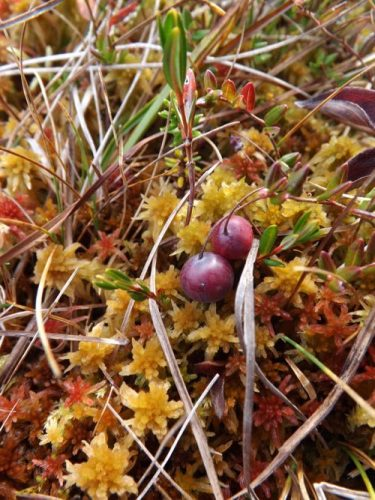 Little jewels among the mosses (Photo: Sarah A. Zeiger).