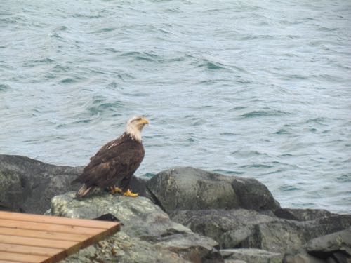 """""""dirty tail"""" bald eagle"""
