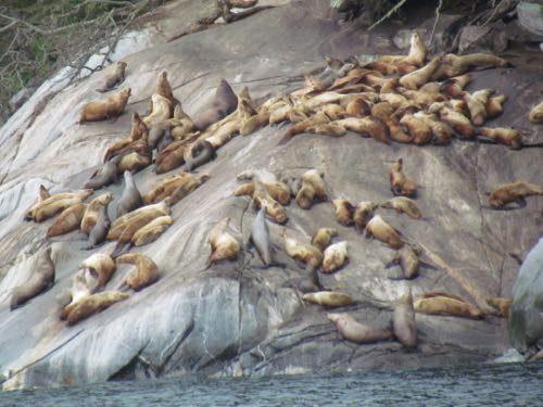 Stellar sea lions on Lynn Canal
