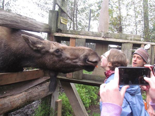 woman feeding a moose