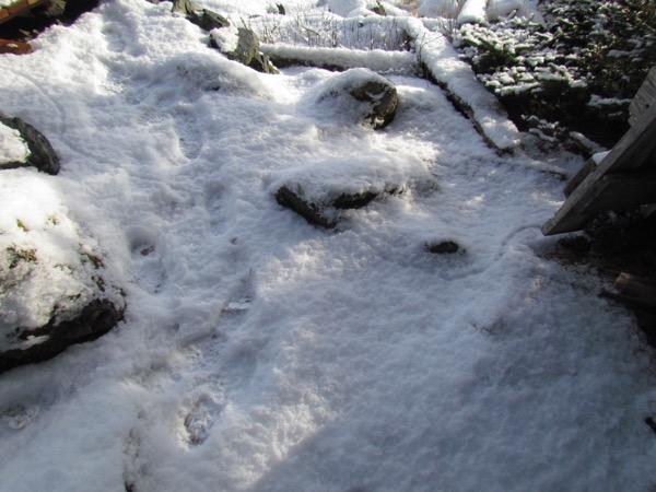shrew track way in snow