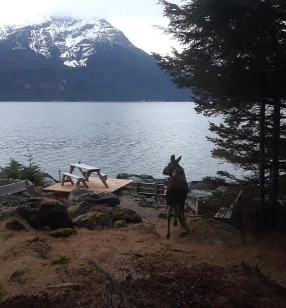 Moose on Zeiger family homestead