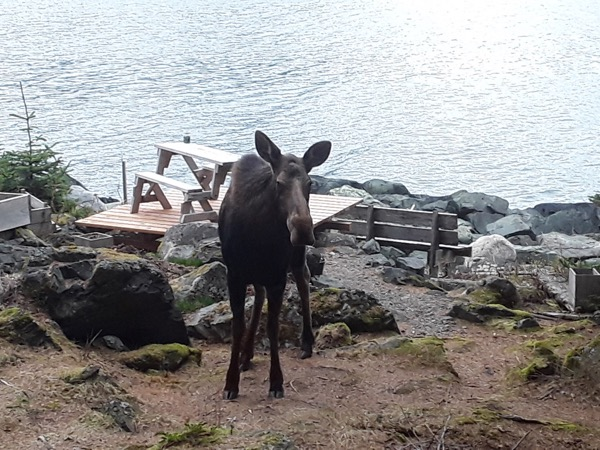 moose in the Zeiger family homestead dooryard