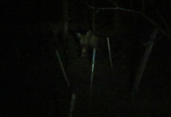 moose bedded down in yard